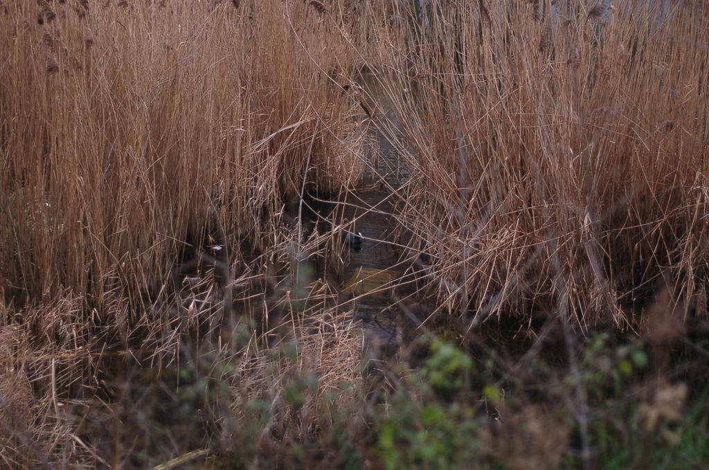 Un canard nage dans les roseaux
