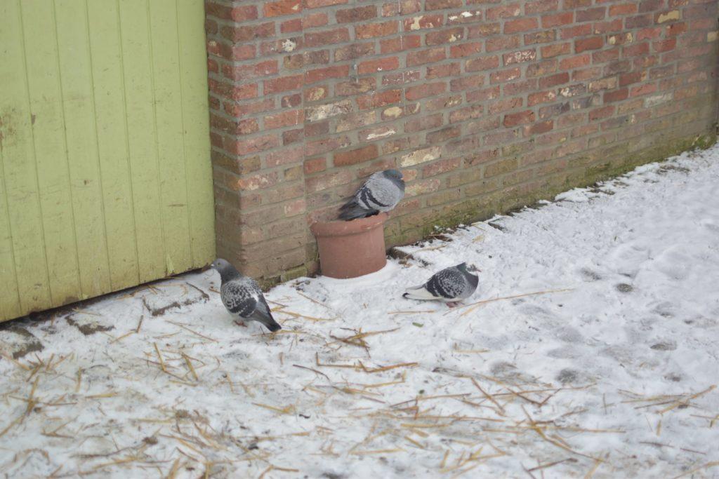Pigeons dans le frois