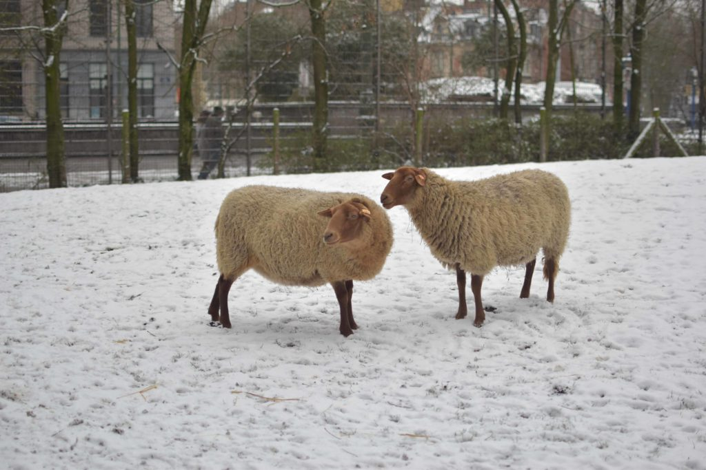 Moutons de la Ferme du Parc Maximilien
